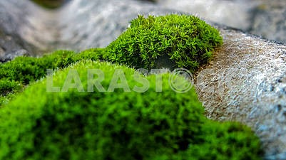 Green moss on the roof of the house