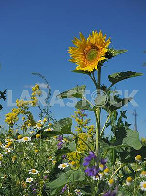 Sunflower on the field