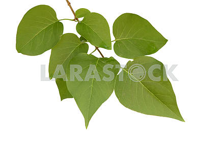 Branch with the leaves of lilac