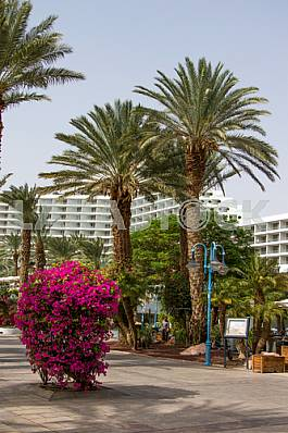 Bougainvillea and palm trees near the Dan Eilat Hotel