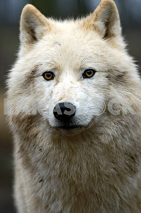 Portrait of a Polar Wolf