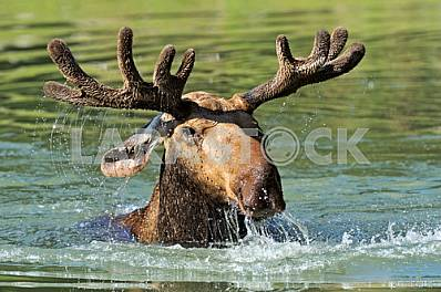 Elk emerges from the water