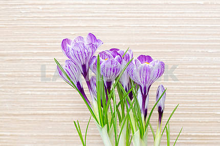 Flowers crocus