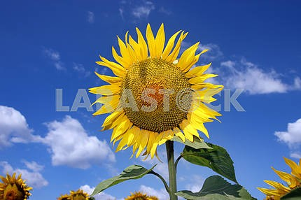 Sunflower with sky background
