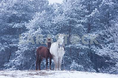 White horse and foal - winter forest