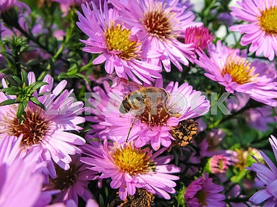 Alpine Aster and a bee (Aster alpinus) . Decorative garden plant