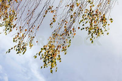 Autumn birch leaves.