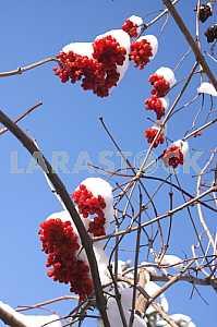Viburnum (Viburnum opulus)