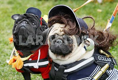 Two pug dressed in costumes