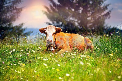 Cow in Blooming Herbs
