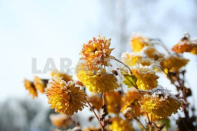 yellow flowers are covered with frost. yellow chrysanthemums covered snow