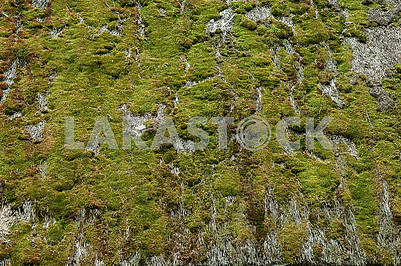 Texture of the moss  on the straw roof of the old hut.