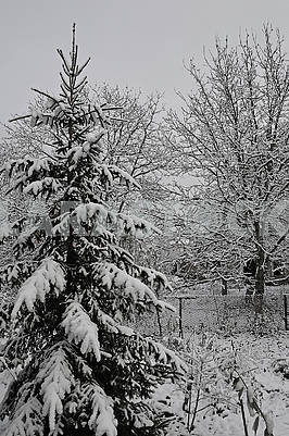 Spruce and deciduous trees are covered with snow