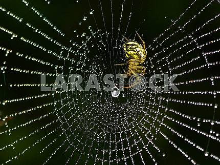 Yellow spider web in the rings of dew drops on a black background.