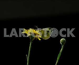 On a black background butterfly on a dandelion in sunlight