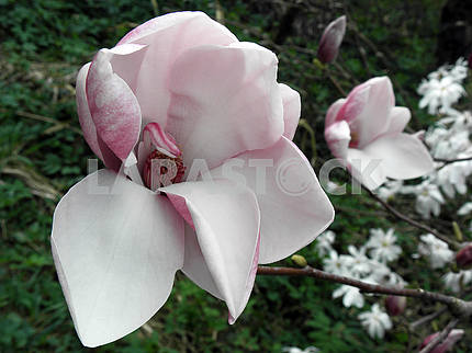 Magnolia's bloom in the springtime,Croatian countryside,6