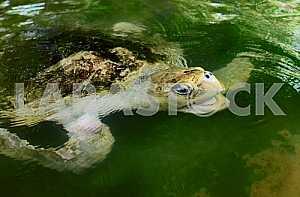 Ocean Turtle in water