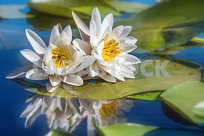 Two white waterlilies