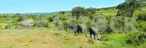 Elephant in the African savannah Masai Mara