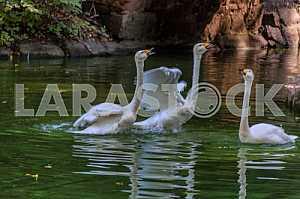 White swans near the bridge in Venice arboretum