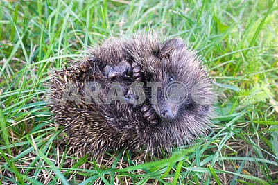 Little prickly hedgehog
