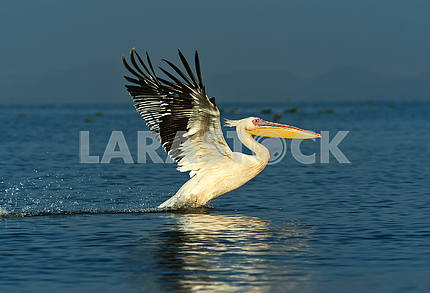 Pelican on the lake Naivasha