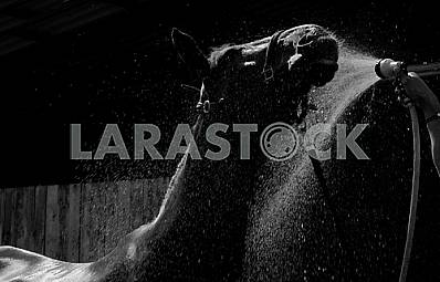 The head and back a horse in a stream of water from a hose. Black and white photo.