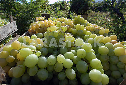 Vintage of grapes