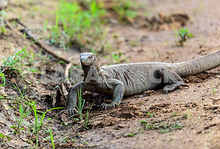 Monitor lizard in the wild