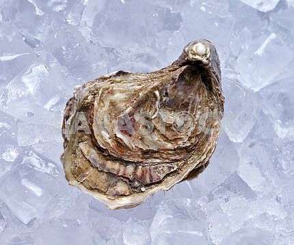 Closed oyster on ice