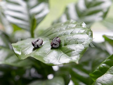 Coffee beans in coffee leaves