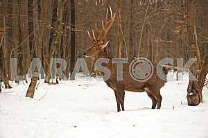 Deer. Winter