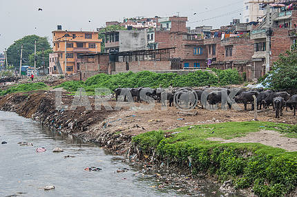 On the bank of Bagmati river dead labor bulls