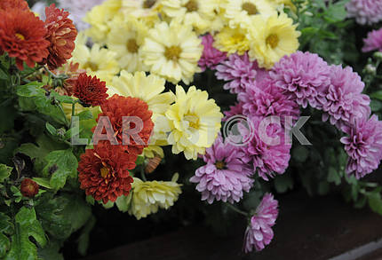 """Exhibition of chrysanthemums """"Melody of Autumn"""""""