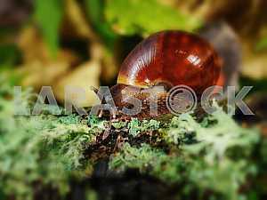 Achatina snail eats a giant green moss