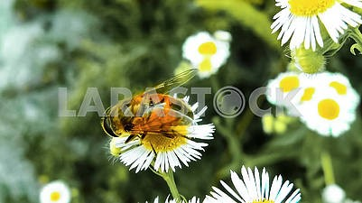 A bee sitting on a camomile