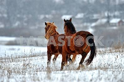 Two bay horse