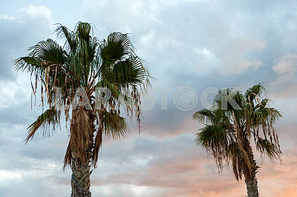 Two palm trees in sky