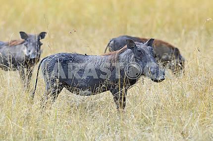 Warthog in tropical Kenya