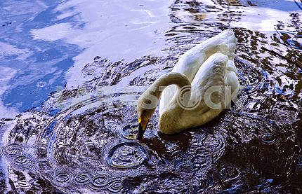 White swan on the water pond