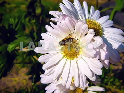 White daisies and a bee