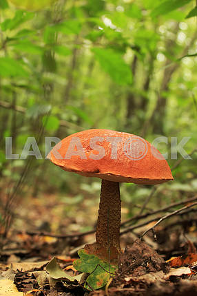 An eatable mushroom cepe over the green foliage background.