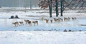 Стадо пятнистых оленей в зимний период