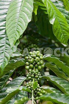 many green coffee cherry on branch of coffee tree