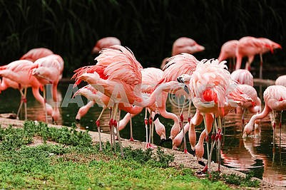 A group of pink flamingos hunting in the pond, Oasis of green in urban setting, flamingo