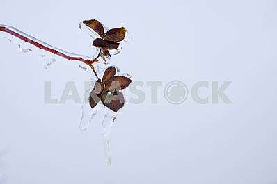 Sprig of rose hips, covered with ice on against the sky