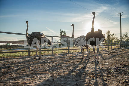 Ostrich morning walk