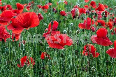 Field with blooming poppies
