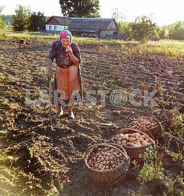 Elderly woman collects potatoes