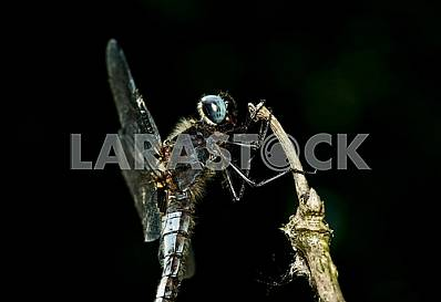 Dragonfly with blue eyes on a straw on a black background. Krupny1 plan.